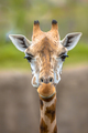 Frontal view of southern giraffe