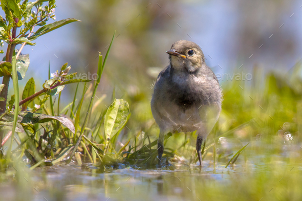 Juvenile white wagtail in grassland - Stock Photo - Images
