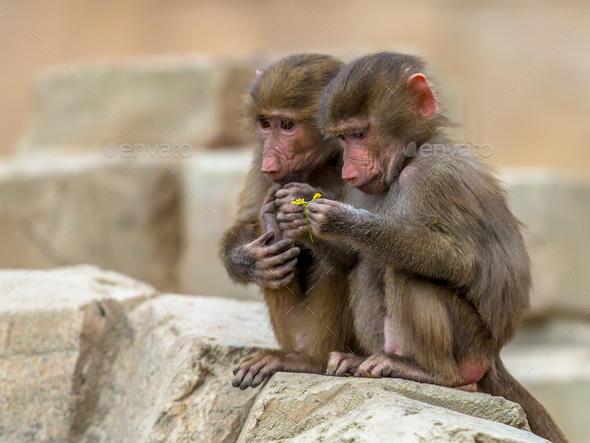Two juvenile Hamadryas baboons - Stock Photo - Images