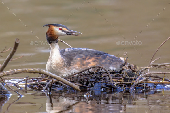 Alerted Great crested Grebe on nest - Stock Photo - Images