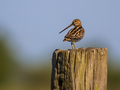 Common snipe on a pole