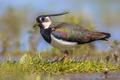 Northern lapwing male standing majestically in grassland habitat