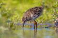 Black-tailed Godwit wader bird chick hunting