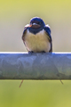 Frontal view potrait of Barn swallow perched on metal pipe