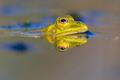 Pool frog head in water