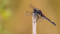 Large white-faced darter perched on stick