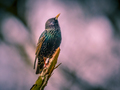 Singing Common Starling vintage colors