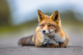Watching European red fox lying on the ground