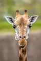Frontal portrait of southern giraffe