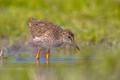 Black-tailed Godwit bird chick wading