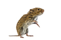 Standing Bank vole on white background