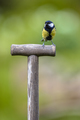 Great tit perched on the handle of a shovel