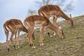 Group of three grazing impala