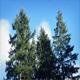 Trees Moving Around In Strong Winds - VideoHive Item for Sale