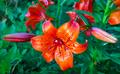 Beautiful flower orange lilies - PhotoDune Item for Sale