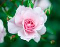 Flower pink rose on natural background - PhotoDune Item for Sale