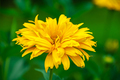 Yellow flower on a green background - PhotoDune Item for Sale