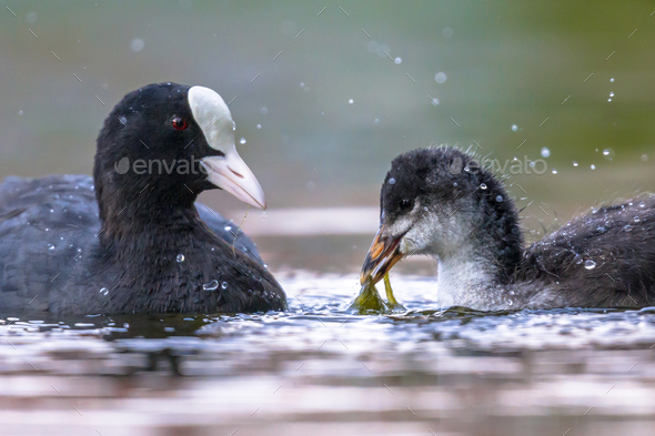 Eurasian coot feeding chick - Stock Photo - Images