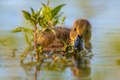 Cute duckling swimming and looking surprised in the camera