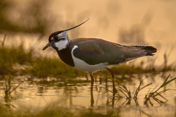 back lit Male Northern Lapwing sillhouette - Stock Photo - Images