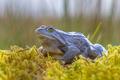 Blue Moor frog side view