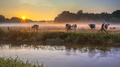 Cows in meadow on bank of Dinkel River at sunrise