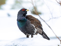 Western capercaillie wood grouse looking