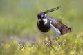Northern lapwing walking in grassland habitat