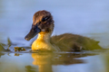 Cute looking duckling swimming in park pond