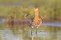 Suspiciously looking Black-tailed Godwit wader bird
