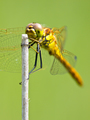 Sympetrum Dragonfly Resting