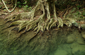 Root system of a tree in tropical forest - PhotoDune Item for Sale