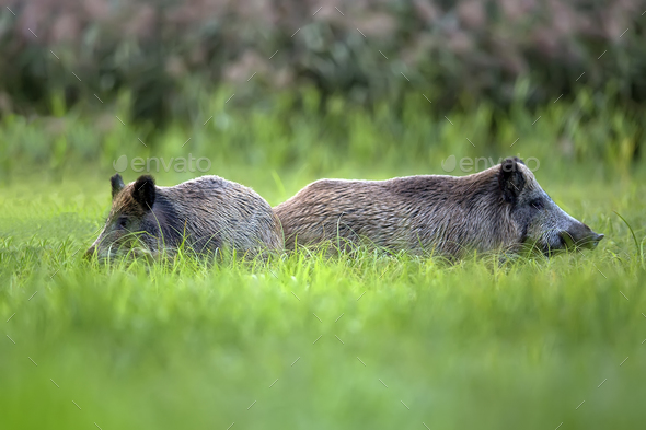 Wild boars in the grass - Stock Photo - Images