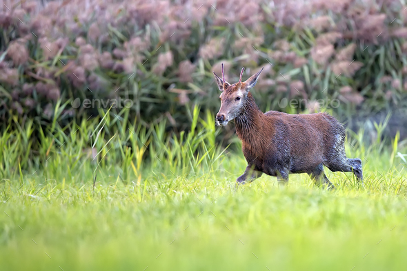 Wet red deer in a clearing - Stock Photo - Images