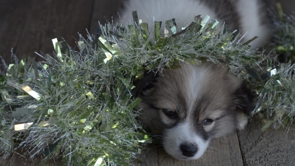 Little Puppy Falls Asleep with Christmas Decorations