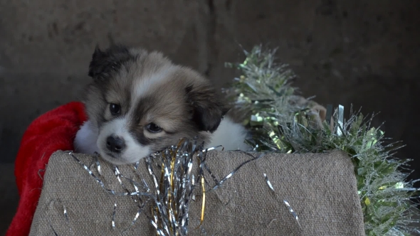 The Little Puppy Sits in a Box with Christmas Decorations