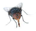 Housefly frontal view