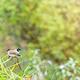 Pycnonotus Aurigaster Birds - PhotoDune Item for Sale