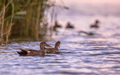 Couple of Gadwall