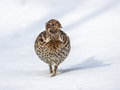 Hazel grouse in snow