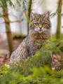 Cute portrait of European wild cat