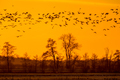 Flock of Geese looking for safe sleeping place