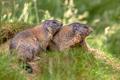Two Alpine marmots