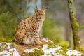 Eurasian Lynx lin forest habitat