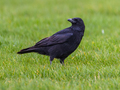 Black Crow on green grass background