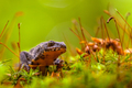 Male Alpine Newt Walking through a Field of Moss