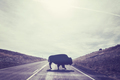 Silhouette of American bison crossing road.