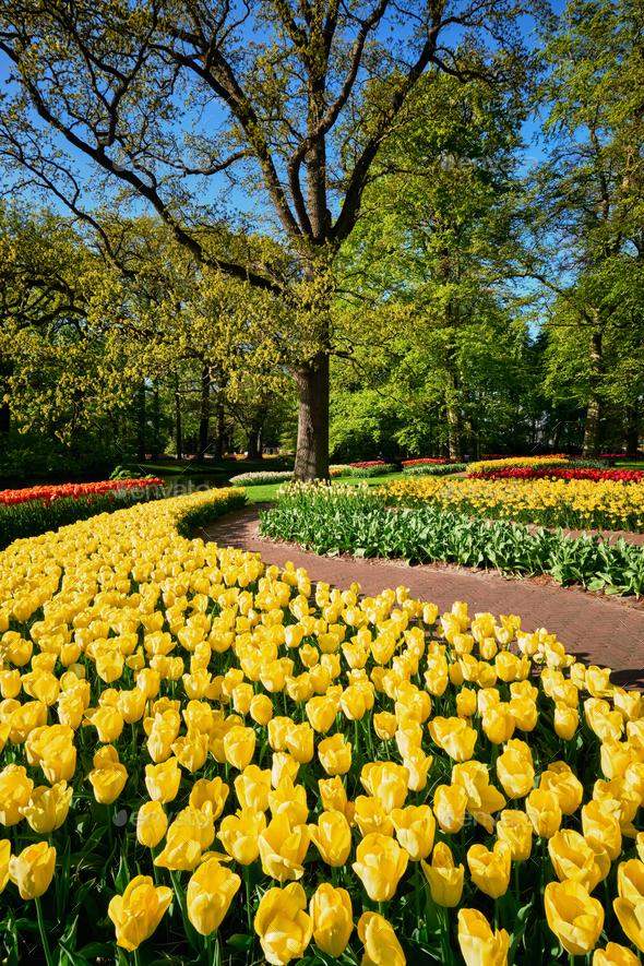 Blooming tulips flowerbeds in Keukenhof flower garden, Netherlan - Stock Photo - Images