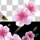 Sakura Alpha 03