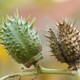 Thorny fruits of Datura stramonium - PhotoDune Item for Sale